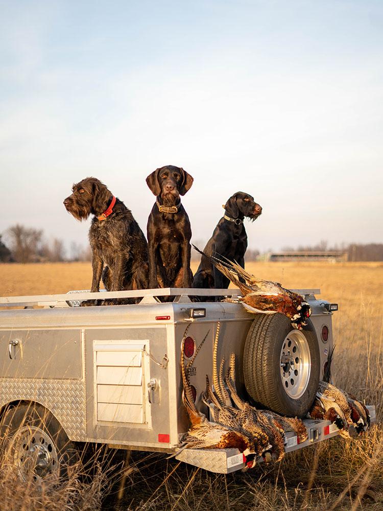 Versatile Gun Dogs Hunting Pheasants